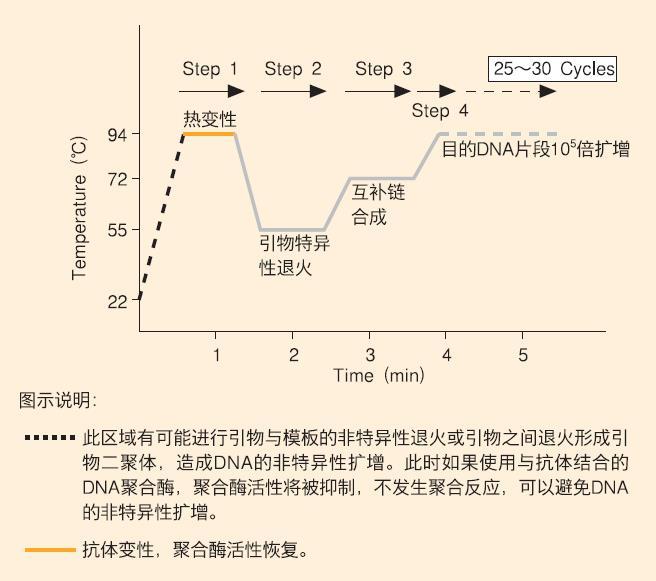 在pcr反应最初的dna变性步骤,抗体变性,聚合酶活性恢复.