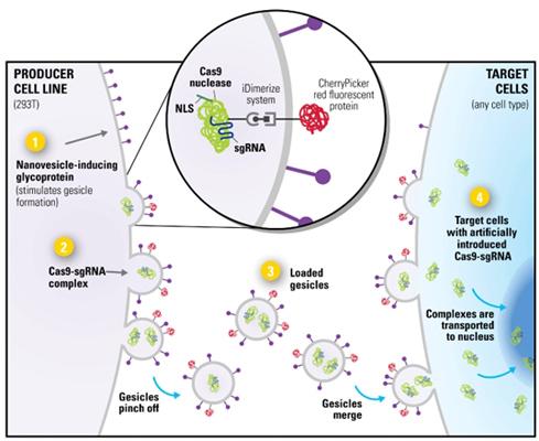 质粒转染细胞步骤图示